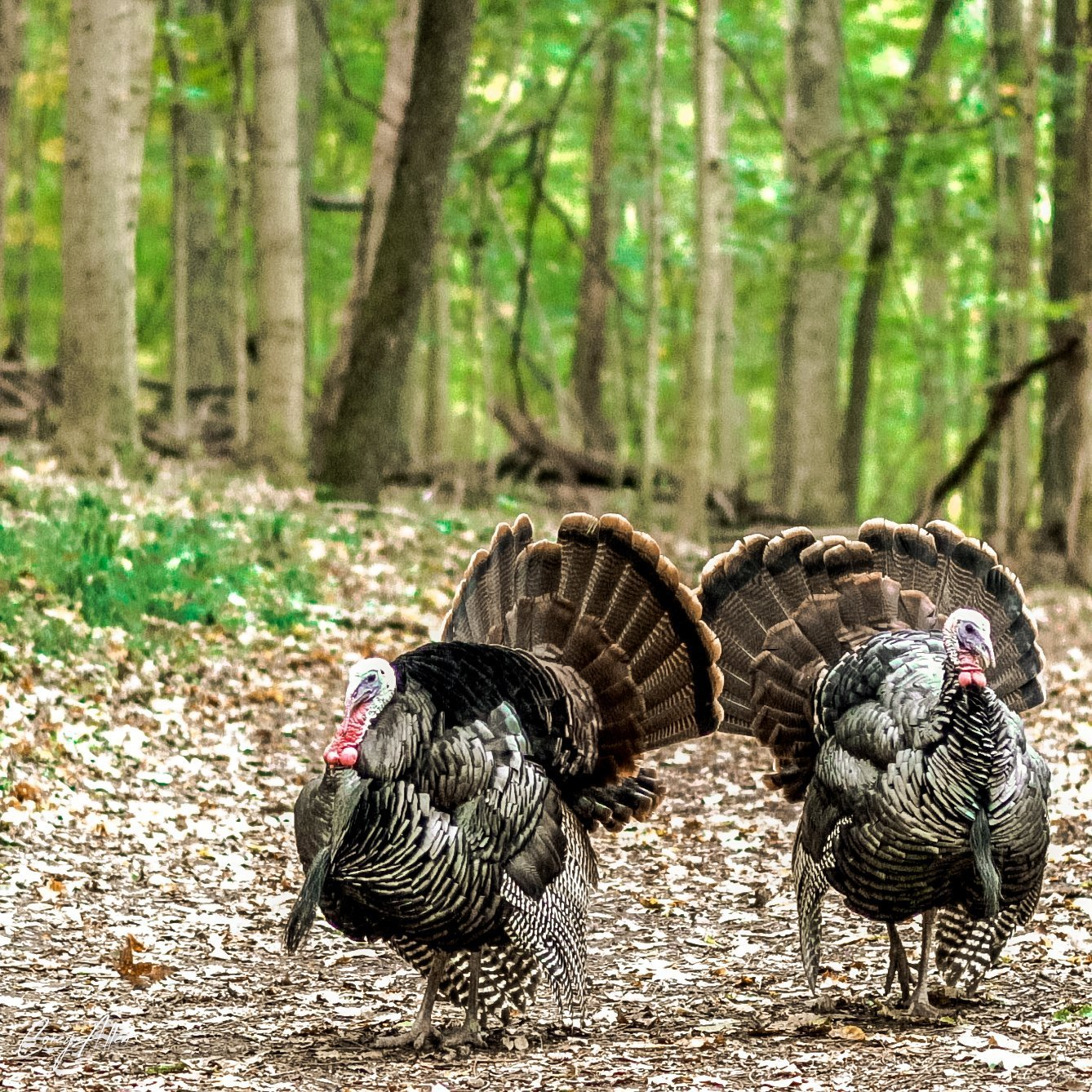 Radnor Lake Wild Turkeys